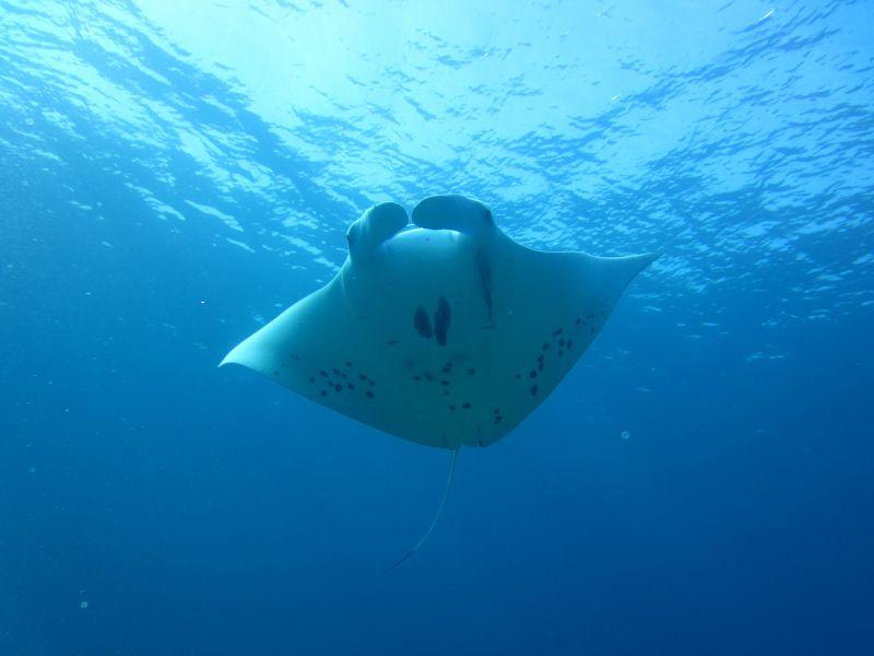 石垣島のダイビングはマンタが観られる