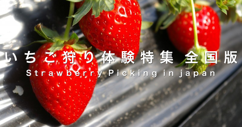 "[ Strawberry picking experience] season of timing and good time to eat, breed Brand Recommended Plan How to Book etc ... adult care strawberry hunting Special "" Japan edition"""